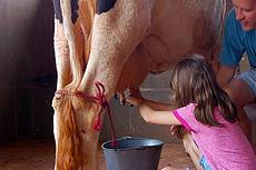 Ordenha ao pé da vaca, uma das diversas atividades que lhe farão sentir como é a rotina diária em uma fazenda.