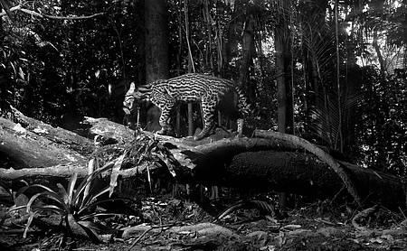 Parque do Itatiaia - 80 anos! - Jaguatirica em habitat natural