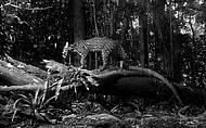 Jaguatirica em habitat natural