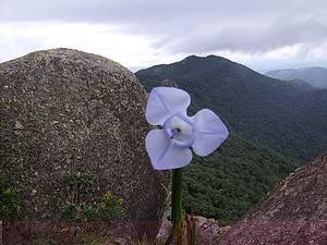 Pedra do Cume: Flor de Íris se exibe em maio às alturas<br>