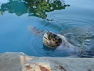 Uma das tartarugas criadas no Projeto Tamar