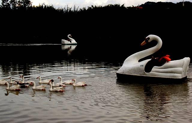 Cisnes e Marrecos