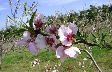 Colônia Maciel - Floração do Pessegueiro ( Pelotas a maior produtora de Pêssegos do Brasil)