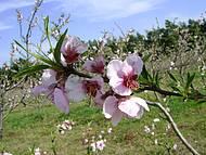 Floração do Pessegueiro ( Pelotas a maior produtora de Pêssegos do Brasil)