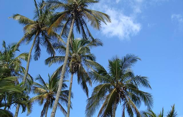 Muito coqueiros num belo dia de sol!