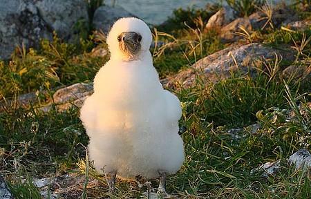 Parque Nacional Marinho dos Abrolhos - Filhote de Atobá na Ilha Siriba
