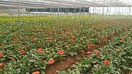 Plantação de gérberas