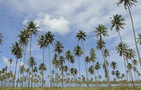 Passo de Camaragibe - Um belo coqueiral