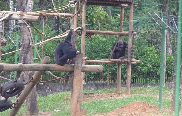 Macaco Indiamim