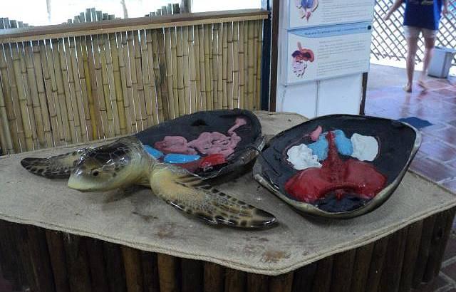 Anatomia das tartarugas marinhas