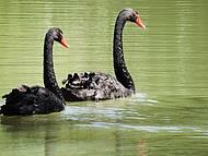 Cisnes negros enfeitam a propriedade