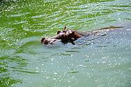 No verão, hipopótamo faz a festa no lago