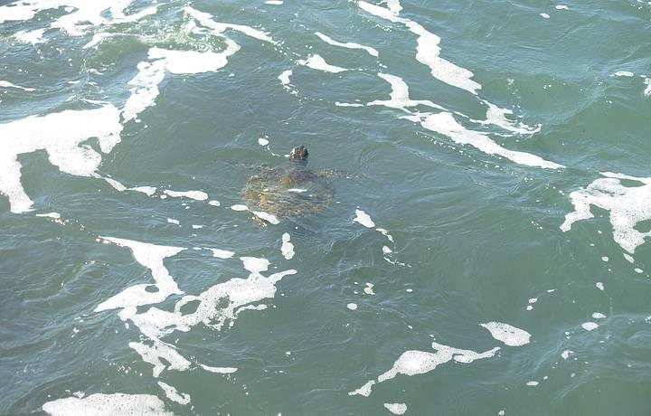 Tartaruga na praia do pulso - natureza é muito forte