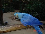 A quase extinta arara azul