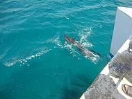 Golfinhos Nadando Junto ao Barco