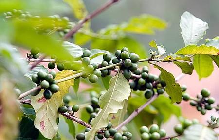 Café - Plantações também fazem parte dos passeios