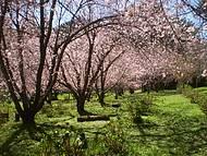 Cerejeiras em Flor em Campos do Jordão