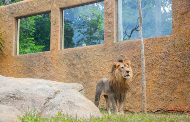 Simba, o rei da selva, é um dos animais mais queridos