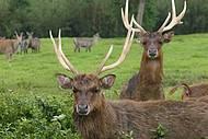 Cervos estão entre as belas espécies