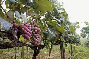 Parreiras: Festa da Uva e do Vinho acontece em fevereiro<br>