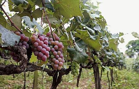 Parreiras - Festa da Uva e do Vinho acontece em fevereiro