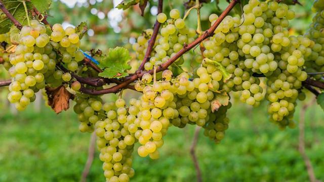 Uvas dão origem aos brancos refrescantes da Pericó Valley