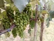 Tour do Vinho leva aos parreirais da Vinícola Castanho