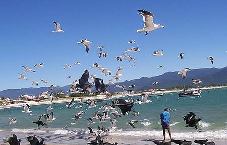Por que ir - Praia da Pinheira - Aves na praia de Baixo