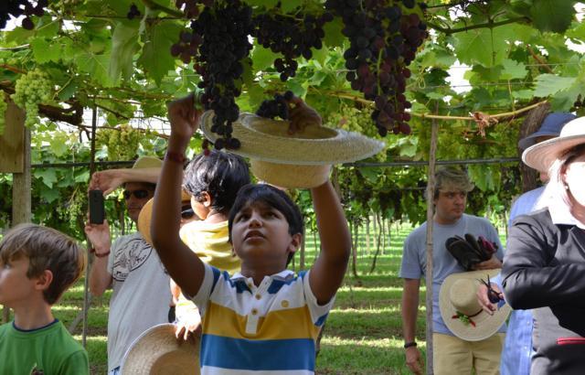 Vindima: colheitas e brindes no Vale dos Vinhedos (RS)!