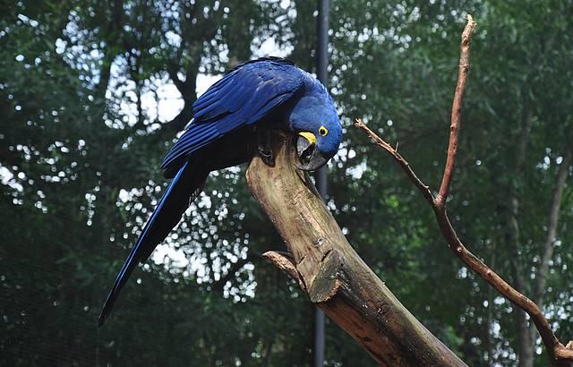 Uma linda arara azul!
