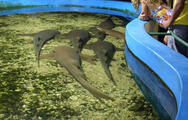 Tubarão brasileiro