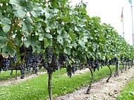 Toda a beleza dos vinhedos na serra gaúca. passeio imperdivel!