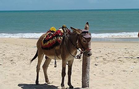 Cumbuco - O jegue esperando pelo turista...