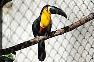 Tucanos colorem a paisagem