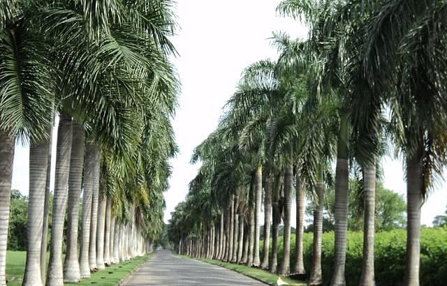 Lindo corredor de palmeiras