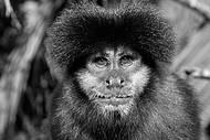 Close no lindo macaco-prego