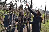 Pode de vinhedos acontece no inverno