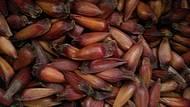 Pinhão - fruto típico da Araucária