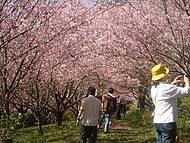 Beleza e tradição na festa das cerejeiras em flor de Campos do Jordao.