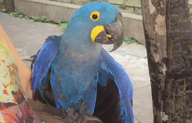 Arara Azul do Rio do Peixe