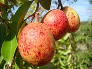 Mangaba fruta tipica da ilha
