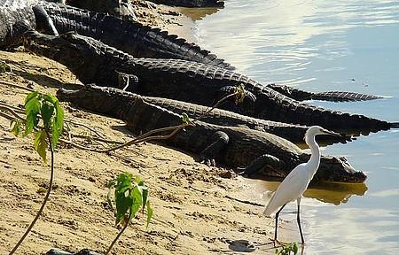 Jacarés - Animais típicos do Pantanal sempre dão o ar da graça!