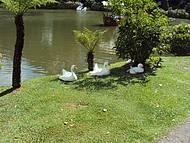 Patos na beira do Lago Negro