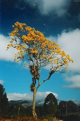 A Beleza do Ipe em Flor, em Visconde de Mauá - RJ