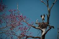 Tuiuiús são as aves-símbolo do Pantanal