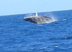 Observa��o de baleias jubarte