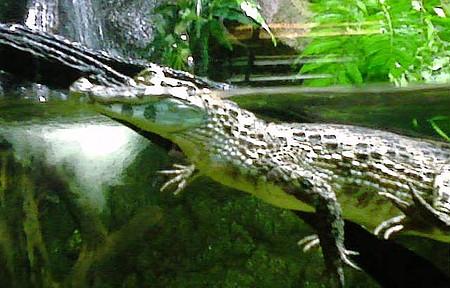 ZooParque Itatiba - Filhote de crocodilo