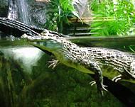 Filhote de crocodilo