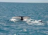 Ver as baleias jubarte