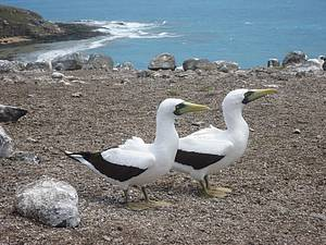 Parque Nacional Marinho dos Abrolhos: Atob�s-mascarados d�o as boas vindas! -